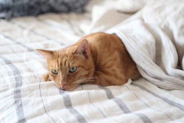 シーツ・猫