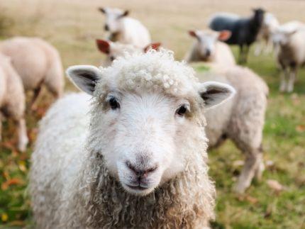 羊・ウール