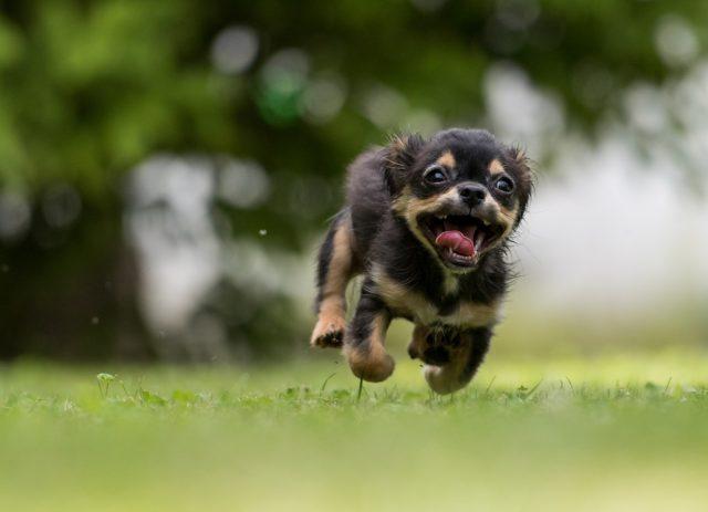 芝生を走る犬