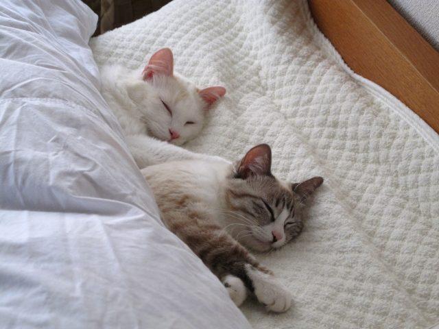 布団で寝てる猫