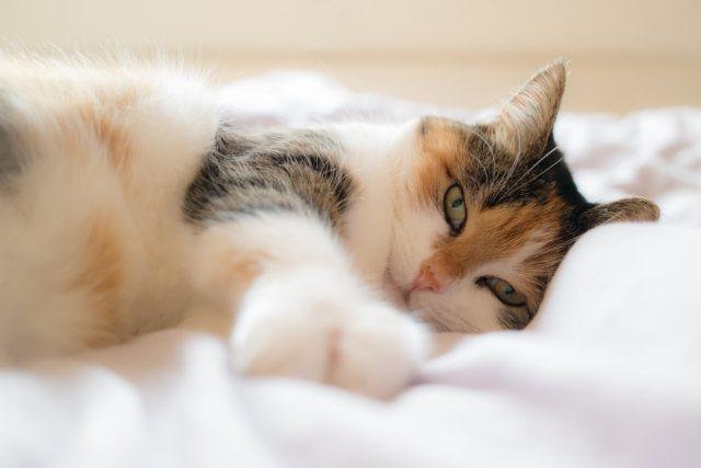 布団で横たわる猫